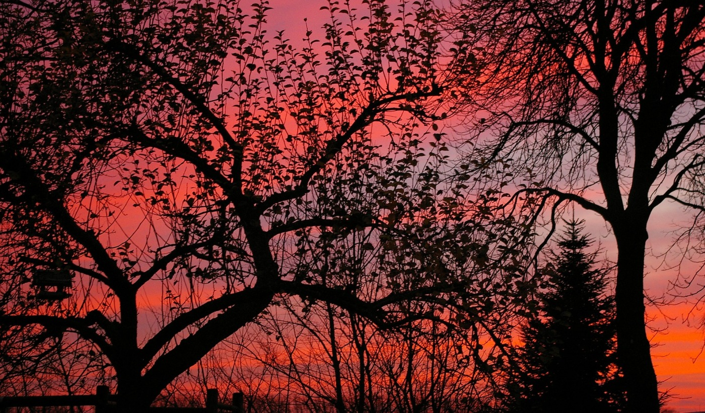 trees, red sky, winter, leaves hanging on
