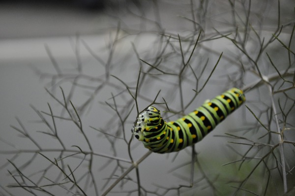caterpillar, butterfly, branch, twigs