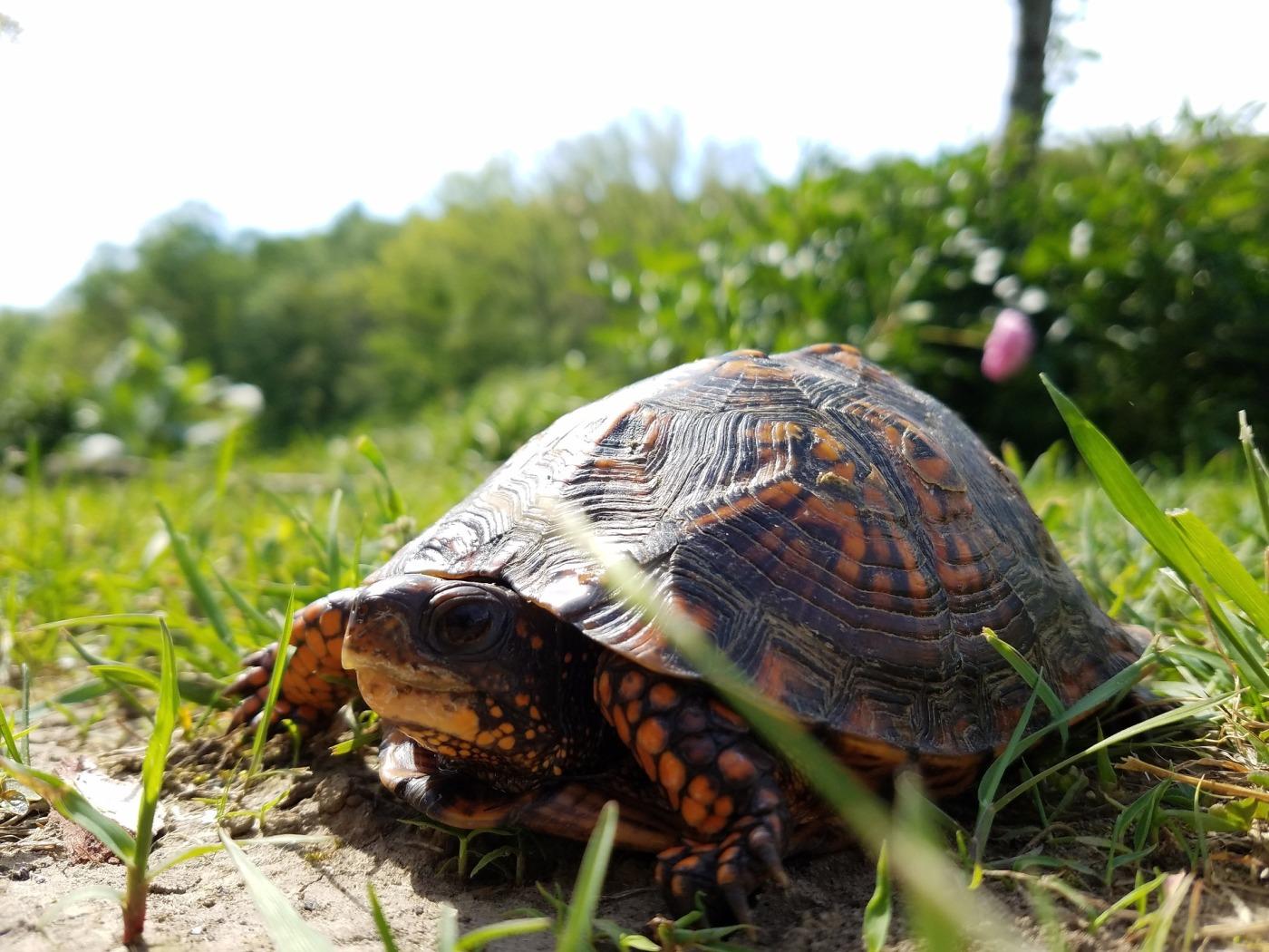 Turtle near road, crossing, grass, nature, reptile, tortoise