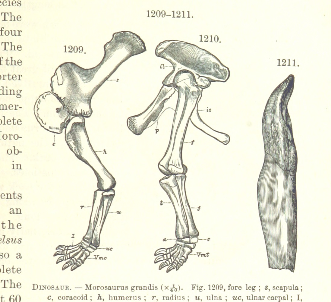 Dinosaur bones, from old text 1885